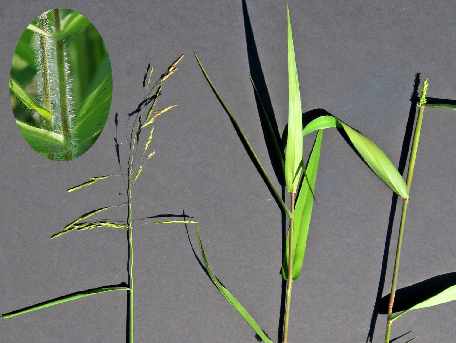 Rice Cutgrass [Leersia oryzoides]