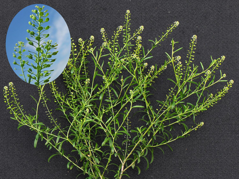 Virginia Pepperweed [Lepidium virginicum]