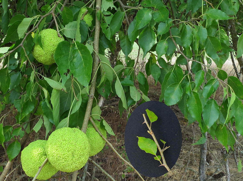 Osage Orange [Maclura pomifera]