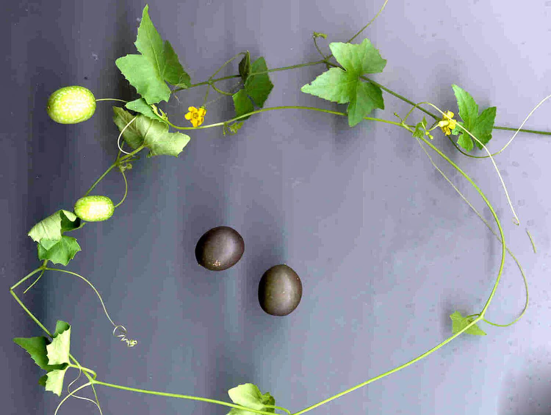 Creeping Cucumber [Melothria pendula]