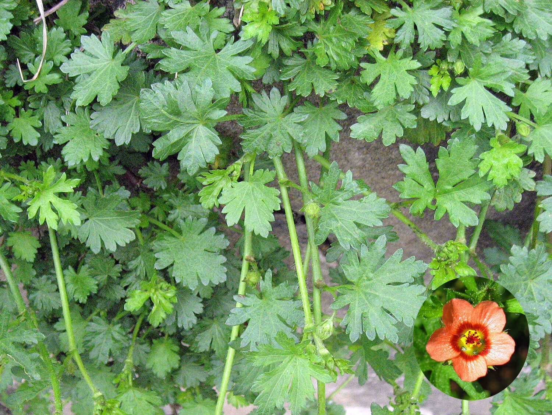Bristly Mallow [Modiola caroliniana]