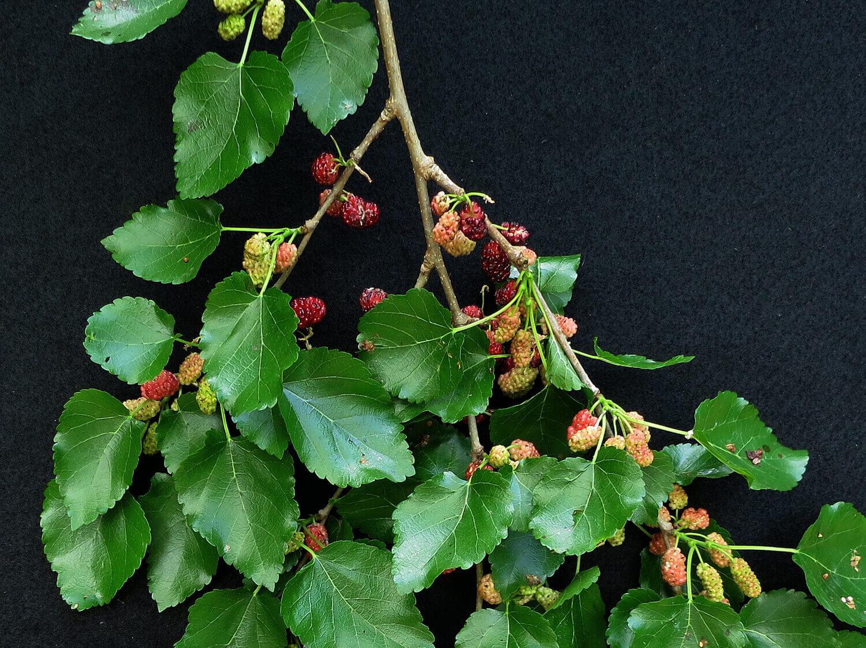 Mulberry [Morus alba]