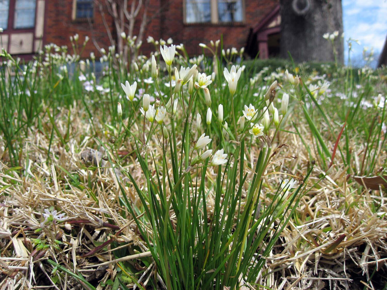 False Garlic [Nothoscodorum bivalve]