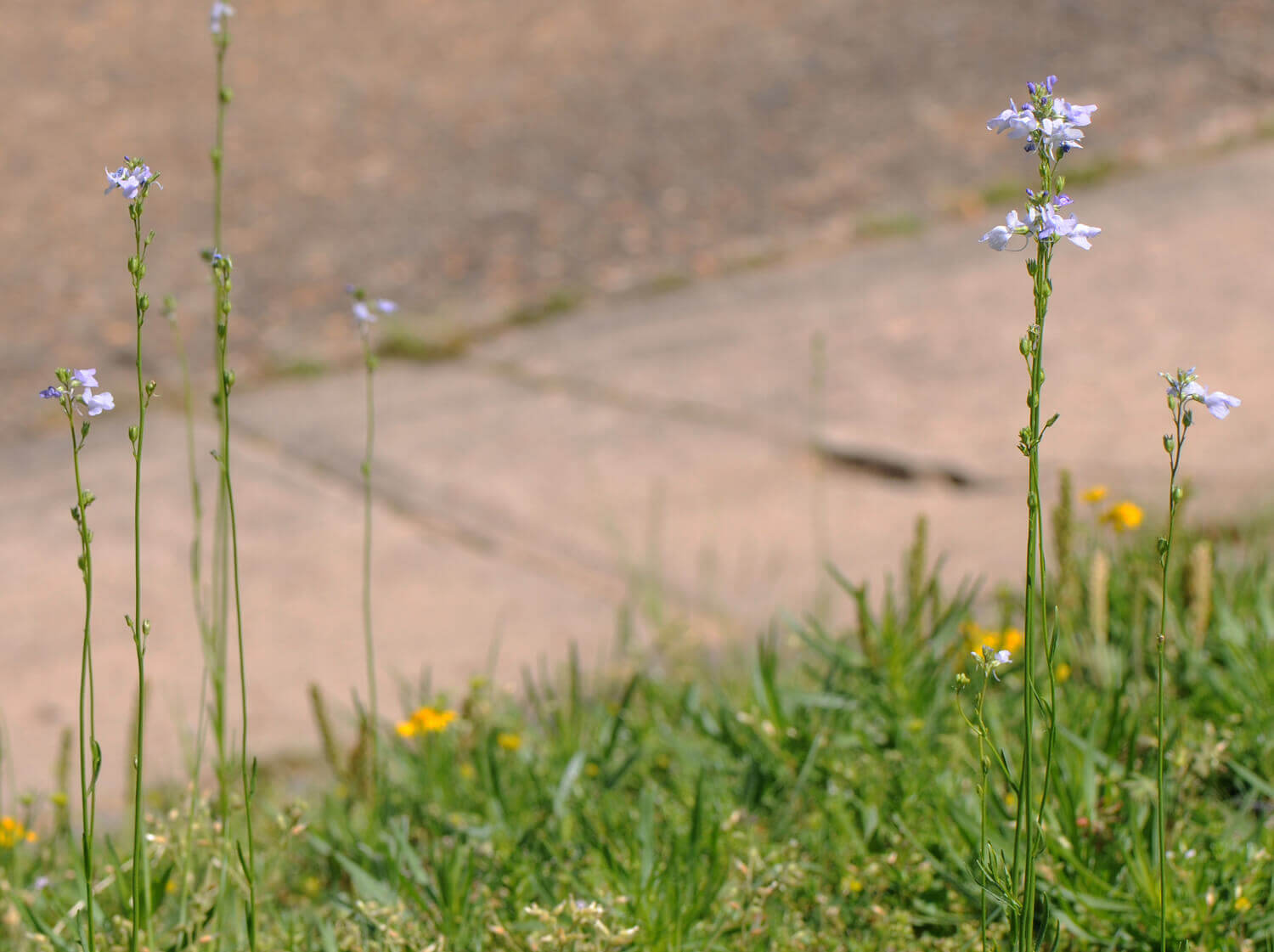 Old Field Toadflax [Nuttallanthus canadensis]