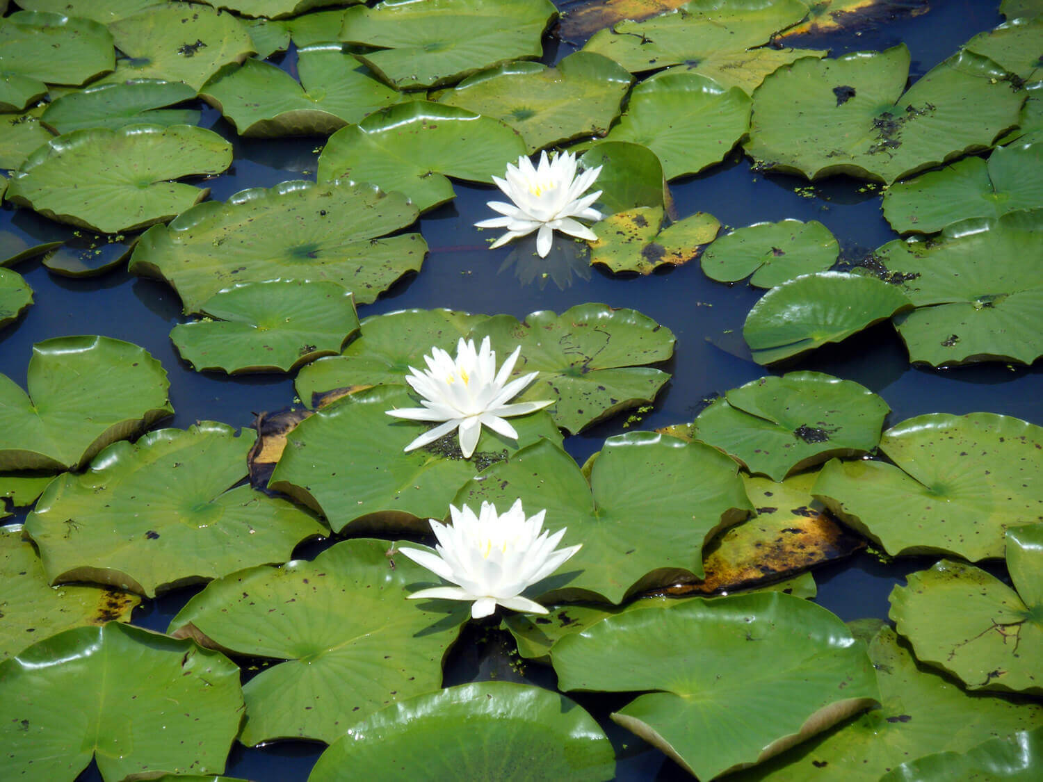 Fragrant Water Lily [Nymphaea odorata]