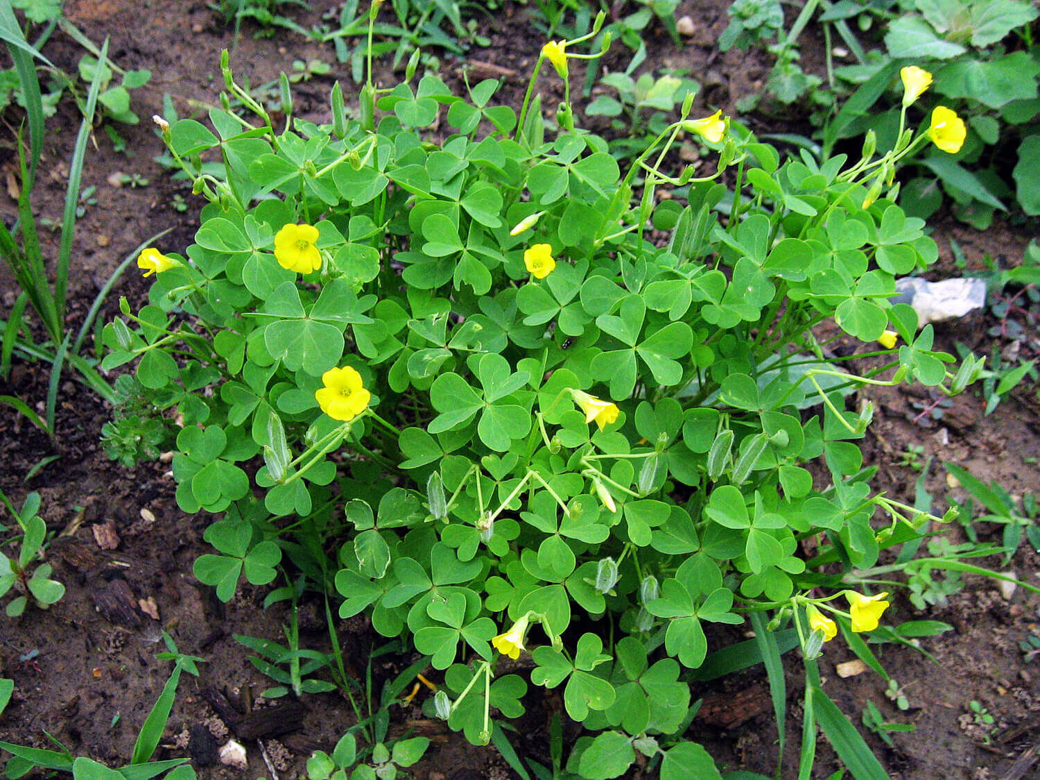 Yellow Wood Sorrel [<em>Oxalis stricta</em>]