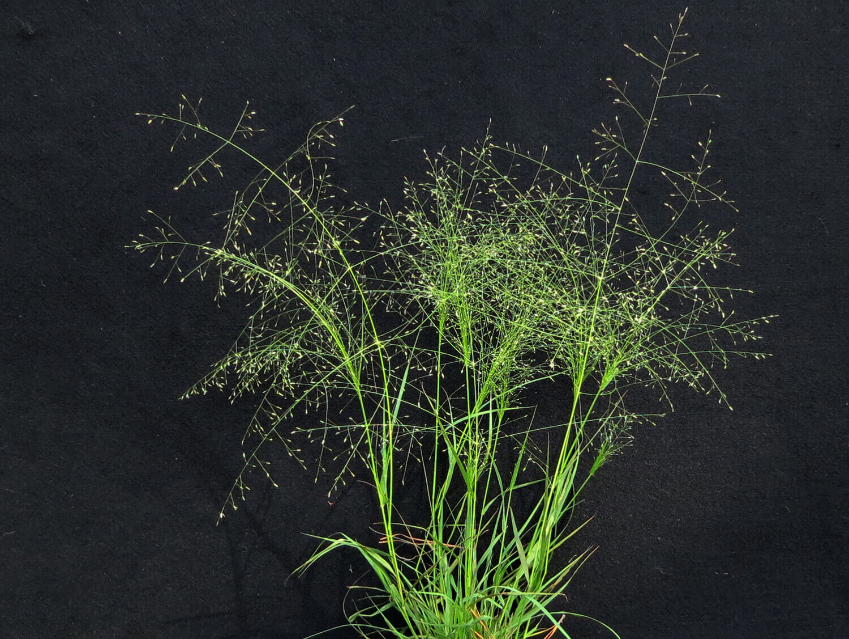 Witchgrass [Panicum capillare]