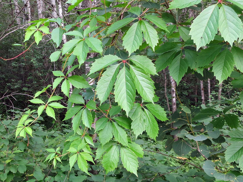 Virginia Creeper [Parthenocissus quinquefolia]