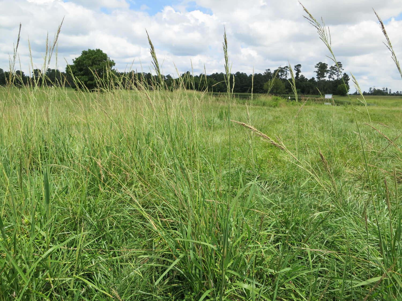 Vaseygrass [Paspalum urvillei]