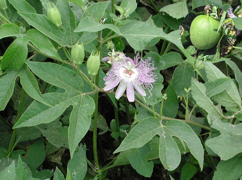 Maypop Passionflower [Passiflora incarnata]