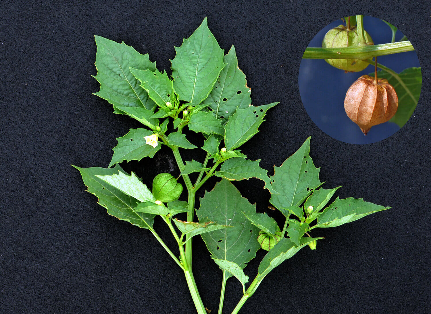 Cut-Leaf Groundcherry [<em>Physlais angulata</em>]