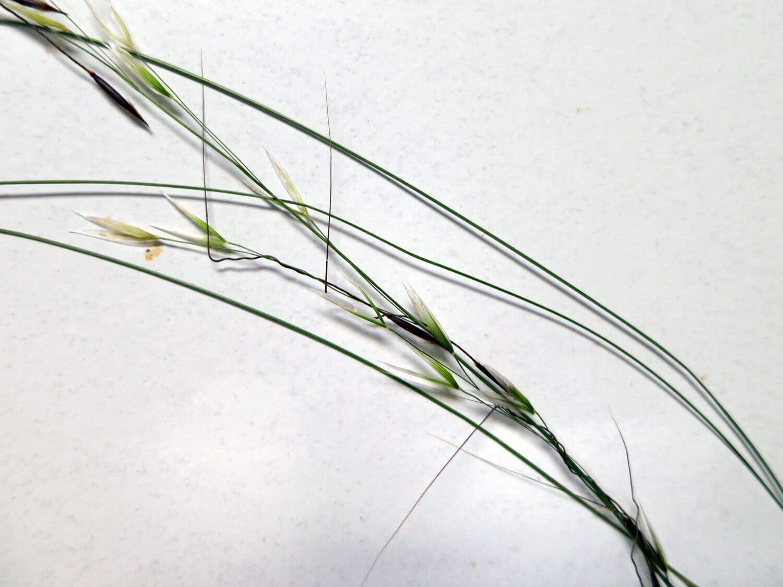 Black Seed Speargrass [Piptochaetium avenaceum]