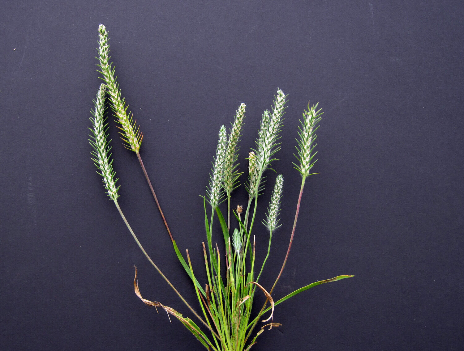 Bracted Plantain [<em>Plantago aristata</em>]
