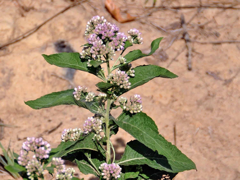 Stinkweed [Pluchea camphorata]