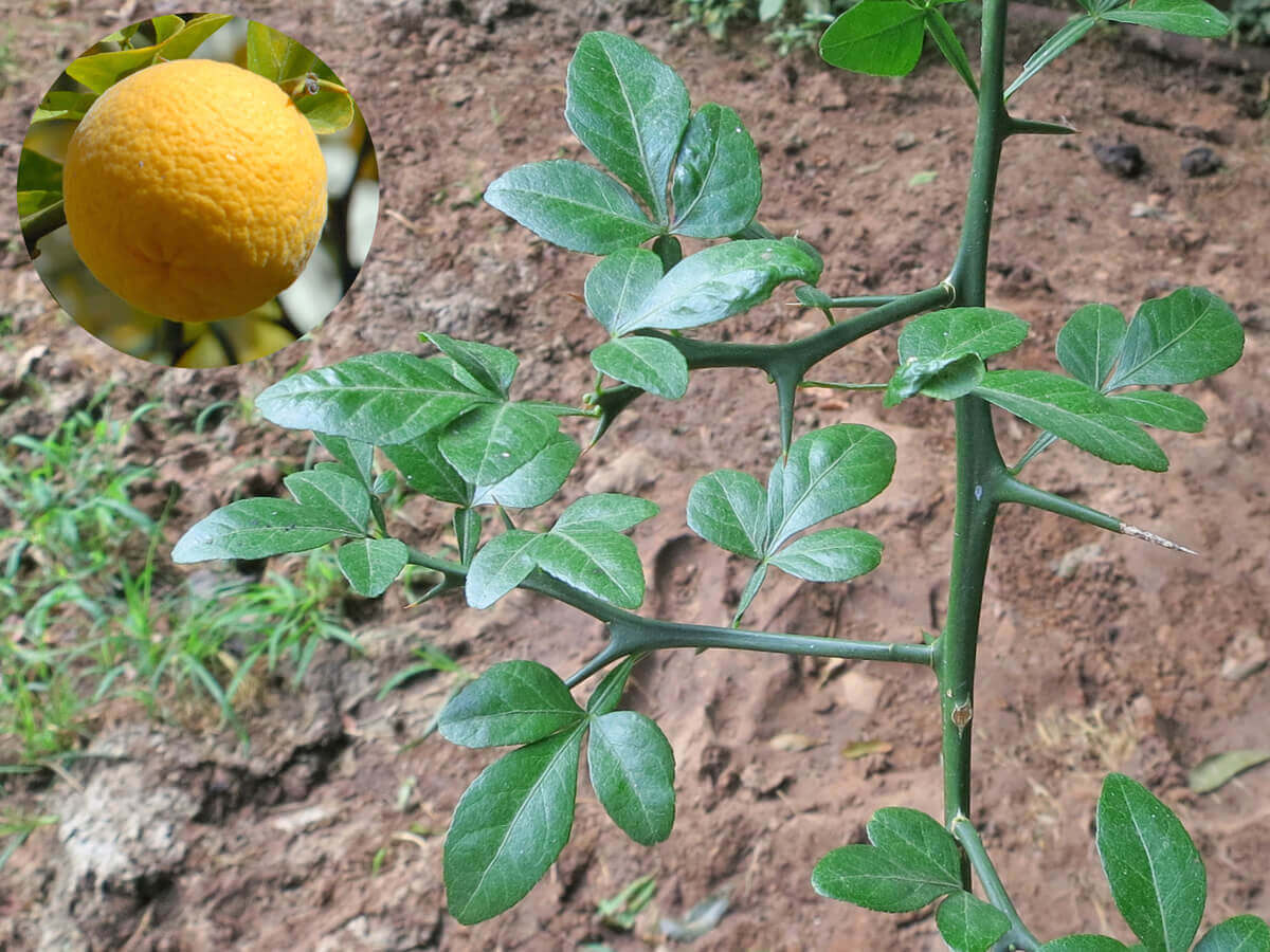 Trifoliate Orange [Poncirus trifoliata]