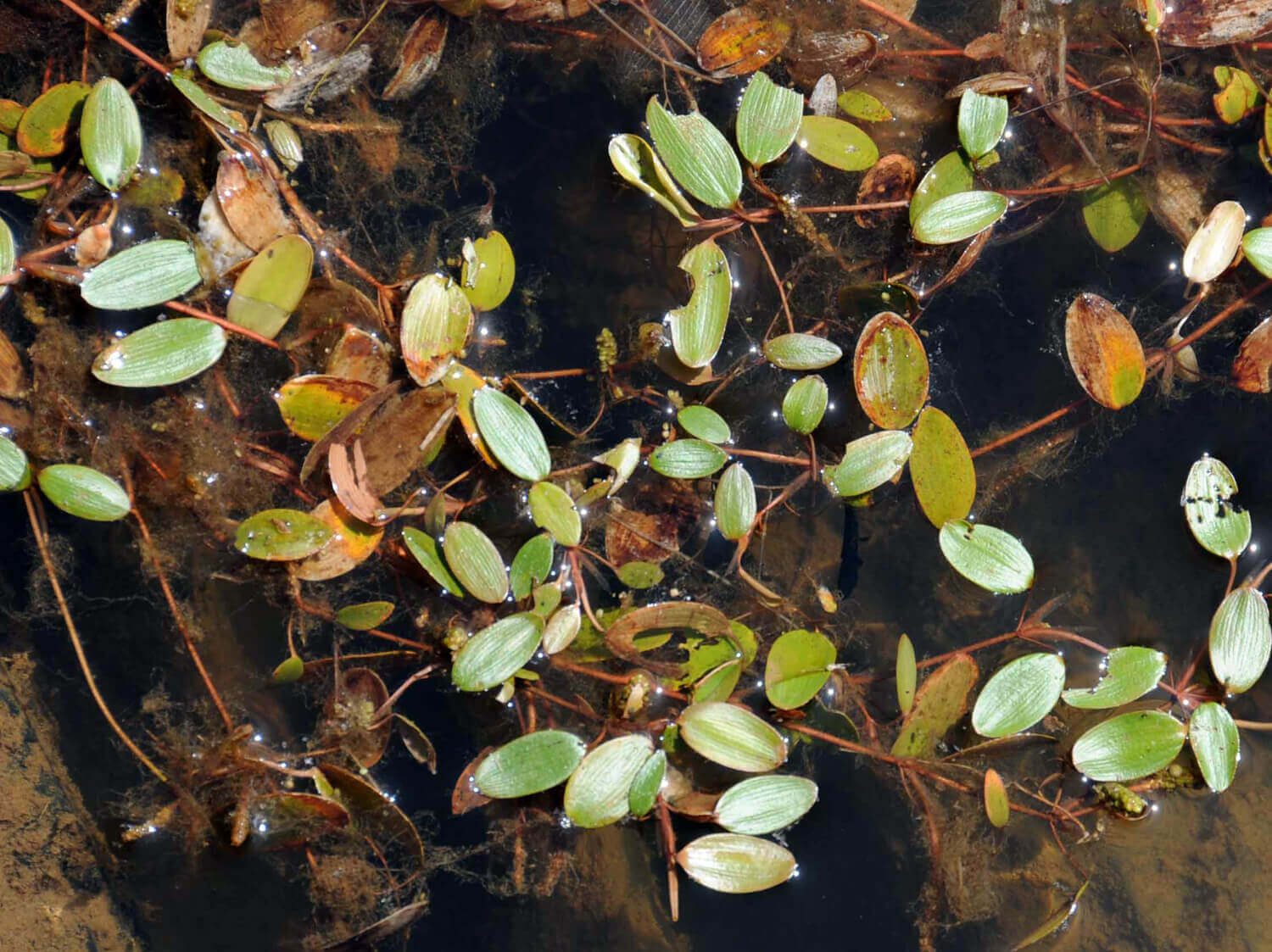Variable Leaf Pondweed [Potamogeton diversifolius]