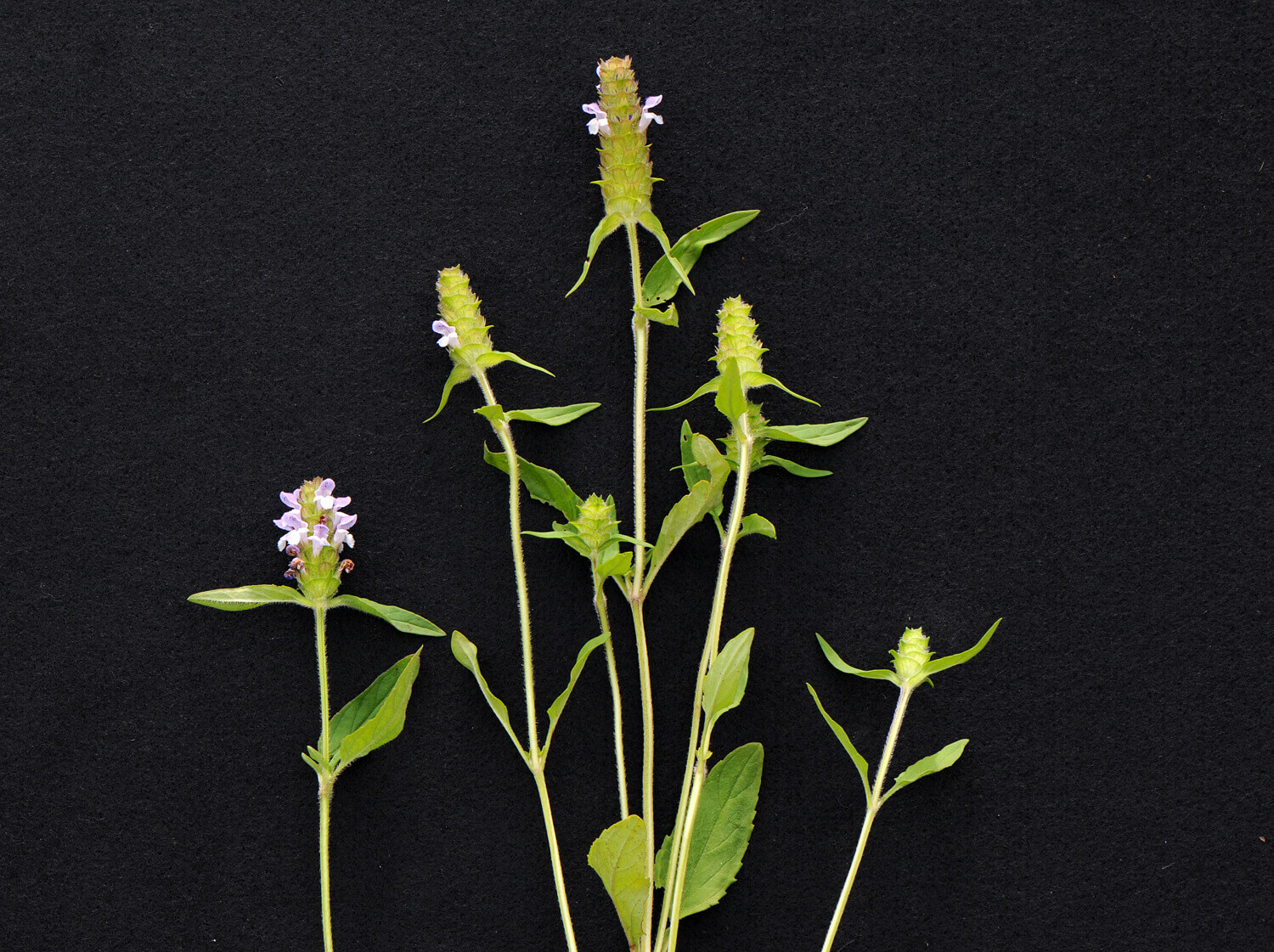 Heal-All [<em>Prunella vulgaris</em>]