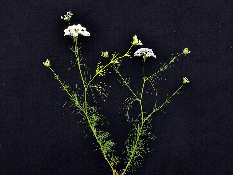 Mock Bishop's Weed [Ptilimnium nuttali]