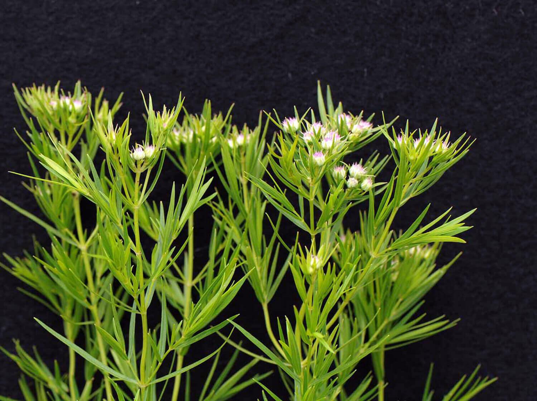 Mountain Mint [Pycnantheumum tenuifolium]