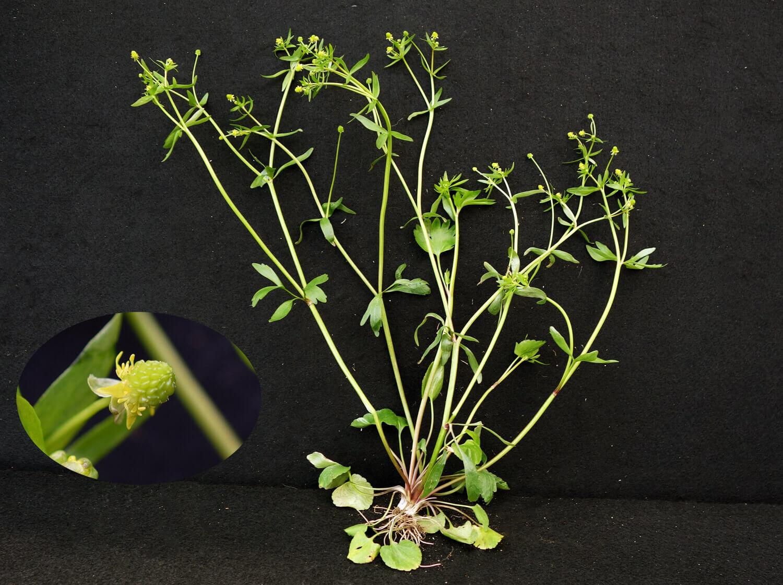Small Flower Buttercup [Ranunculus abortivus]