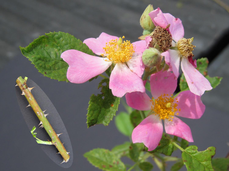 Pasture Rose [Rosa carolina]
