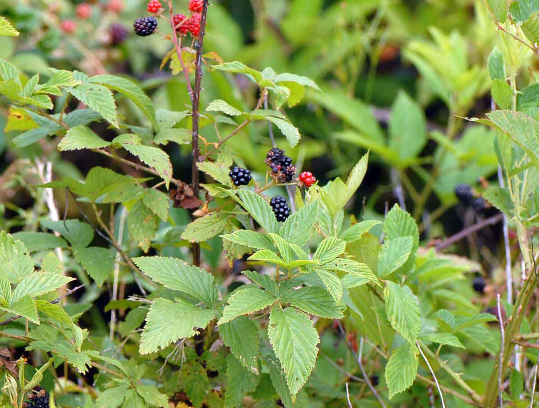 Blackberry [Rubus ]