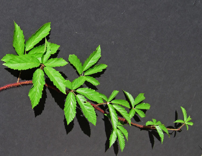 Dewberry [Rubus trivialis]