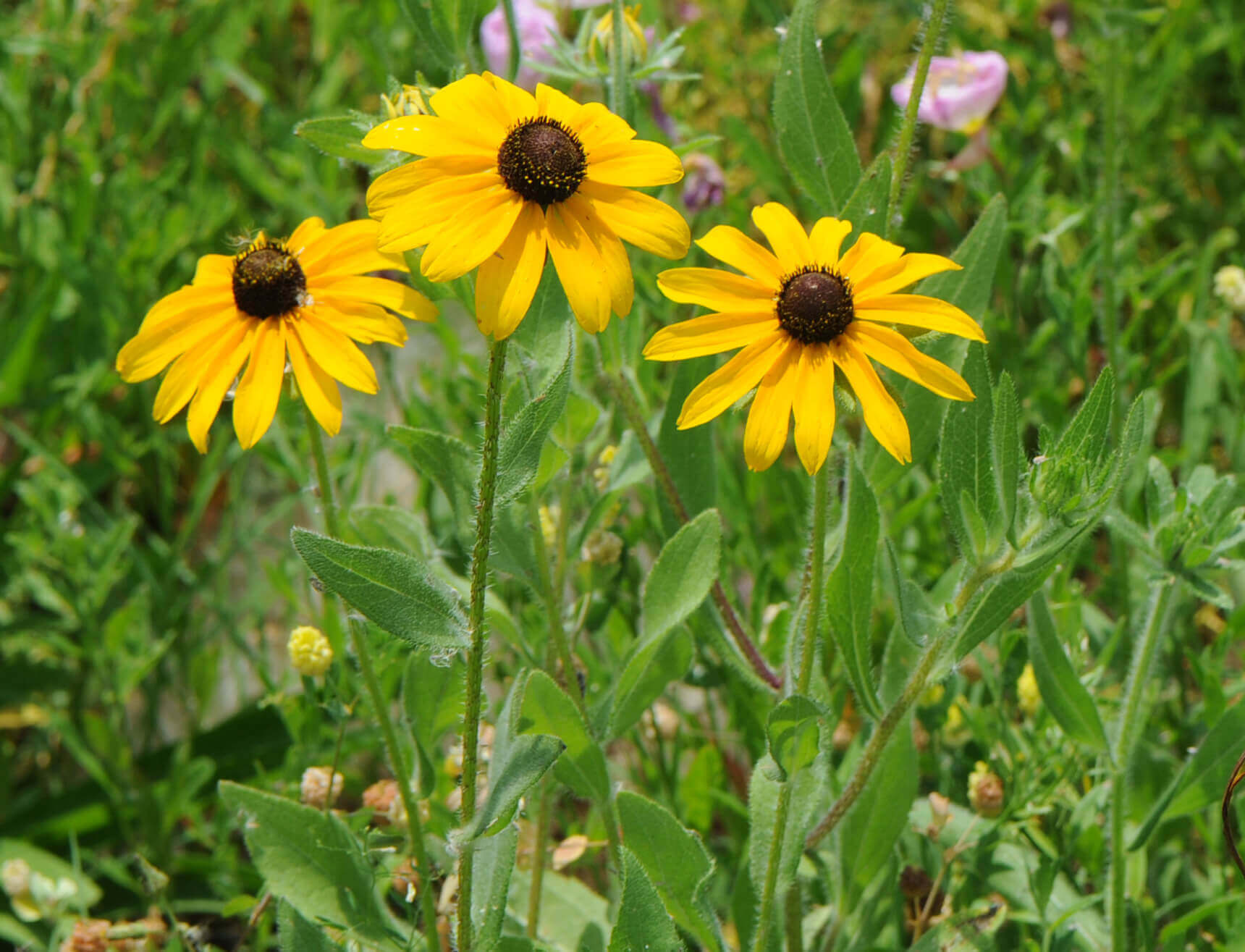 Brown-Eyed Susan [<em>Rudbeckia hirta</em>]