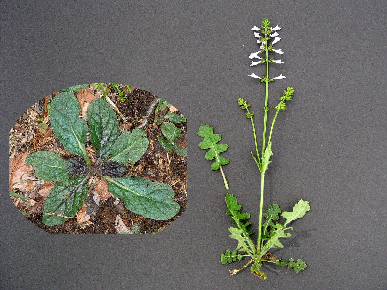 Lyre-Leaved Sage [Salvia lyrata]