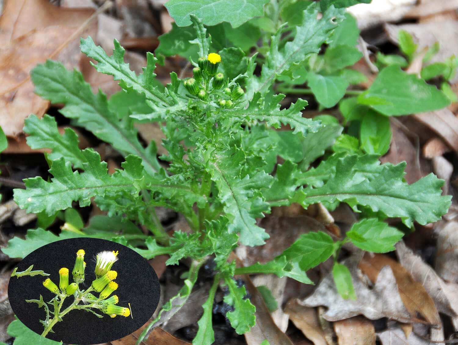 Common Groundsel [<em>Senecio vulgaris</em>]