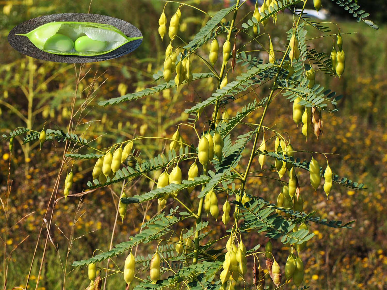 Bladderpod [Sesbania versicarium]