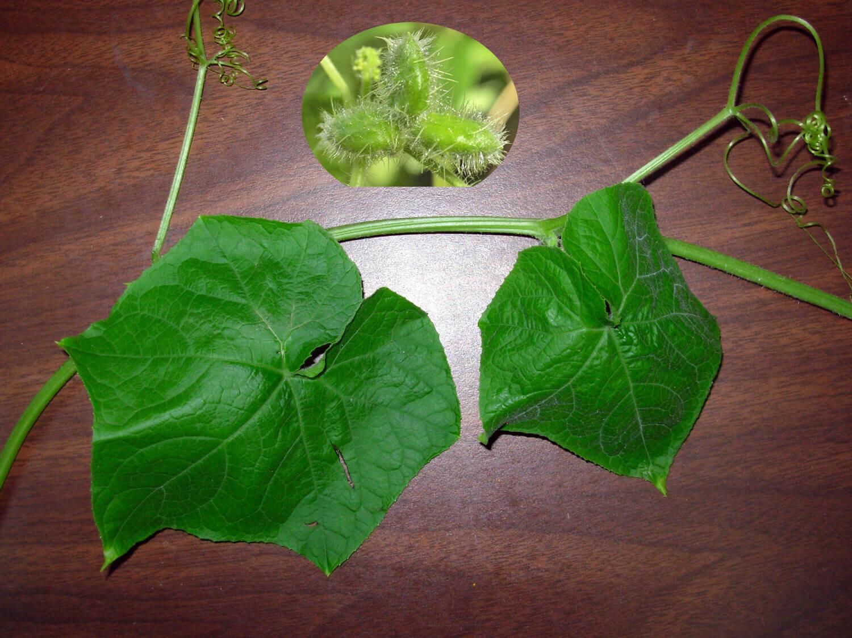 Bur Cucumber [Sicyos angulatus]