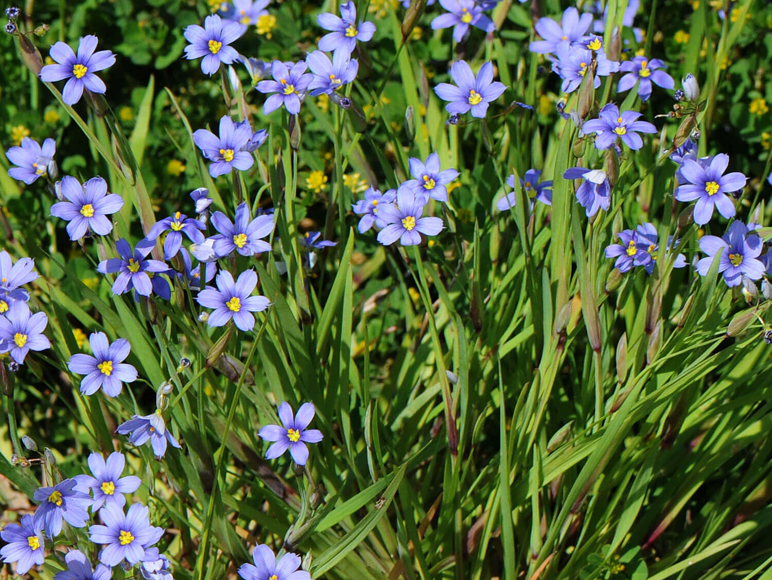 Blue-Eyed Grass [<em>Sisyrhinchium albidum</em>]