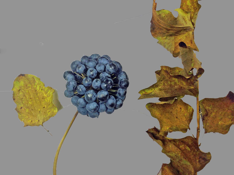 Carrion Flower [Smilax pulverulenta]
