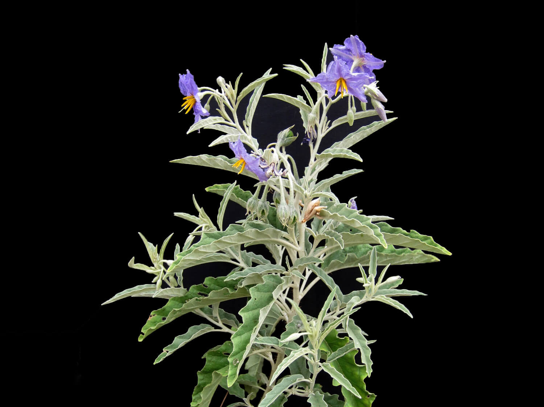 Sivlerleaf Nightshade [Solanum eleagnifolium]