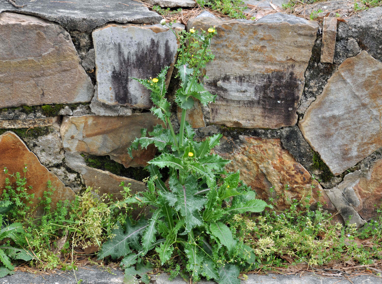 Sowthistle [Sonchus arvensis]