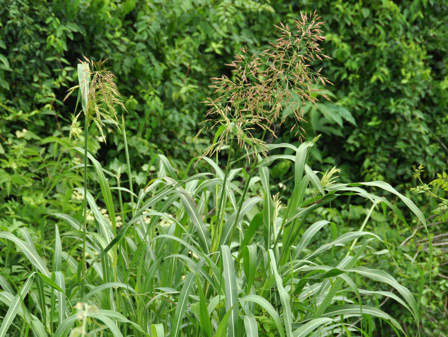 Johnsongrass [Sorghum halepense]