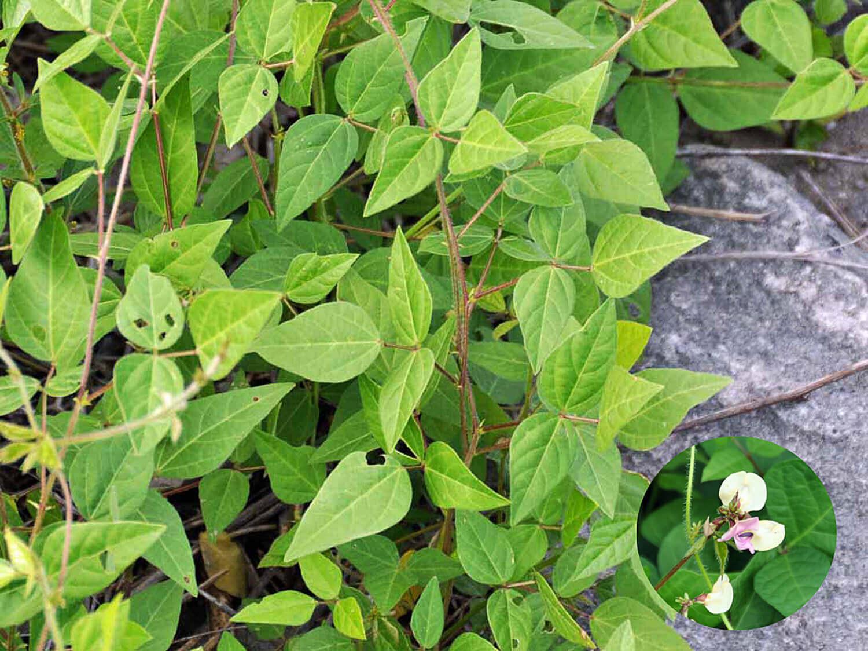 Wild Bean [Strophostyles umbellata]