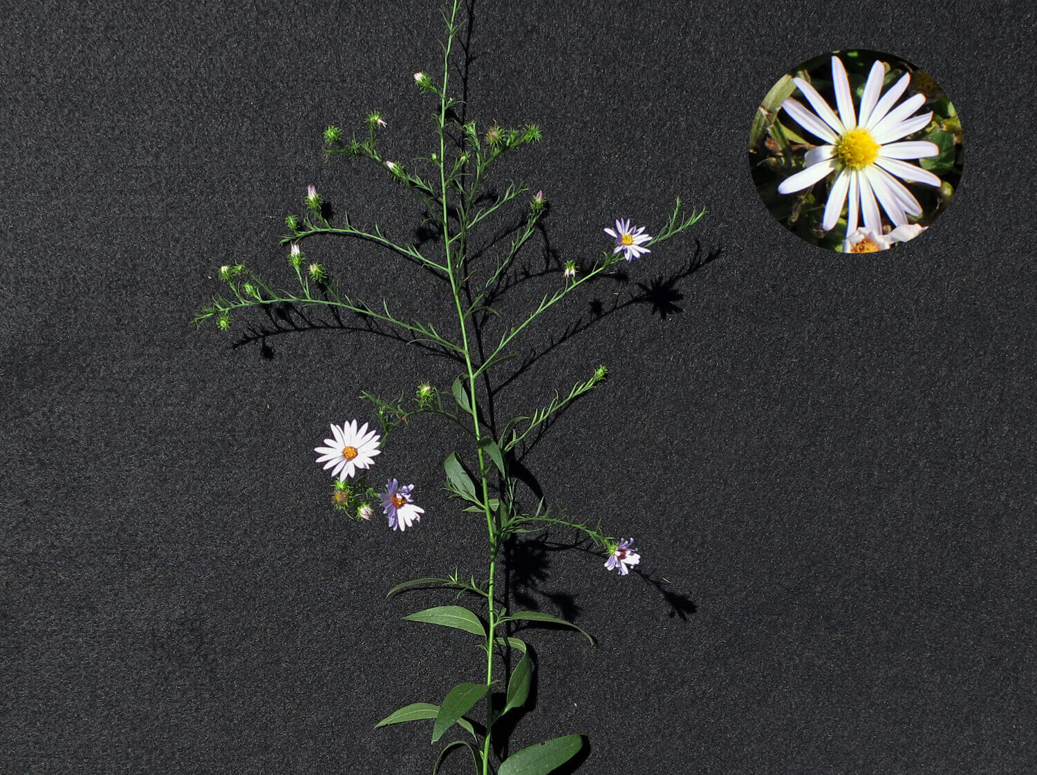 White Woodland Aster [<em>Symphotrichum lateriflorum</em>]