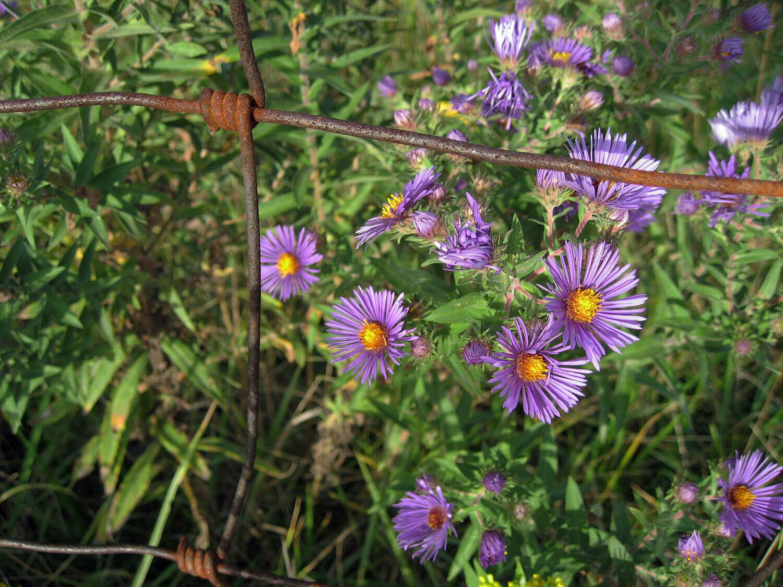 New England Aster [Symphotrichum nova-angliae]
