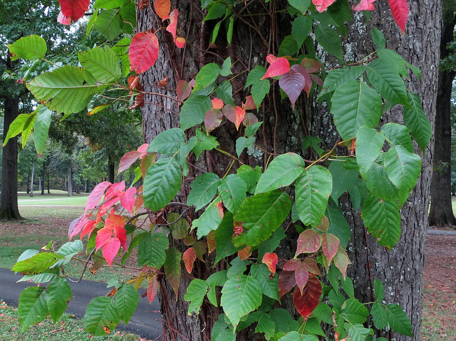 Poison Ivy [Toxicodendron radicans]