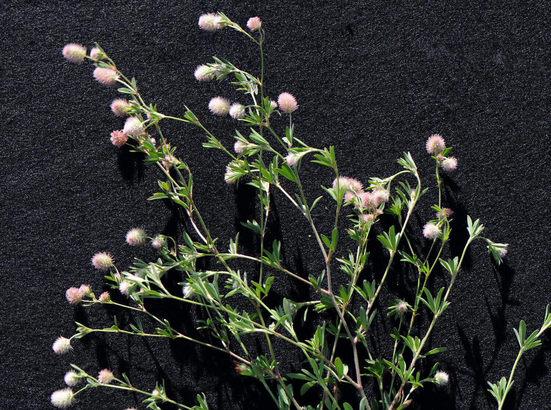 Rabbit's Foot Clover [Trifolium arvense]