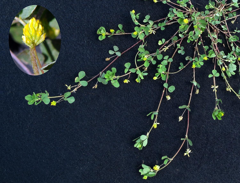 Small Hop Clover [Trifolium dubium]