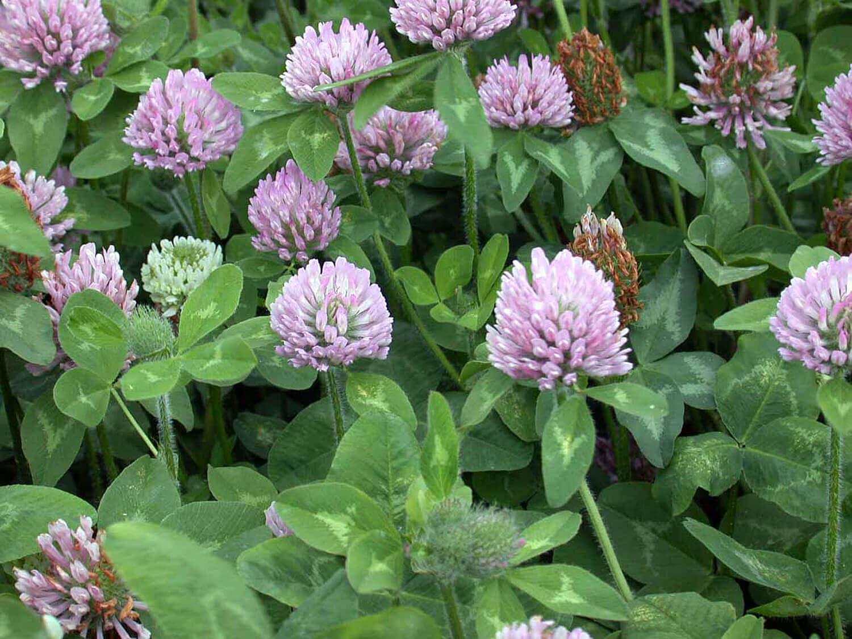Red Clover [Trifolium pratense]
