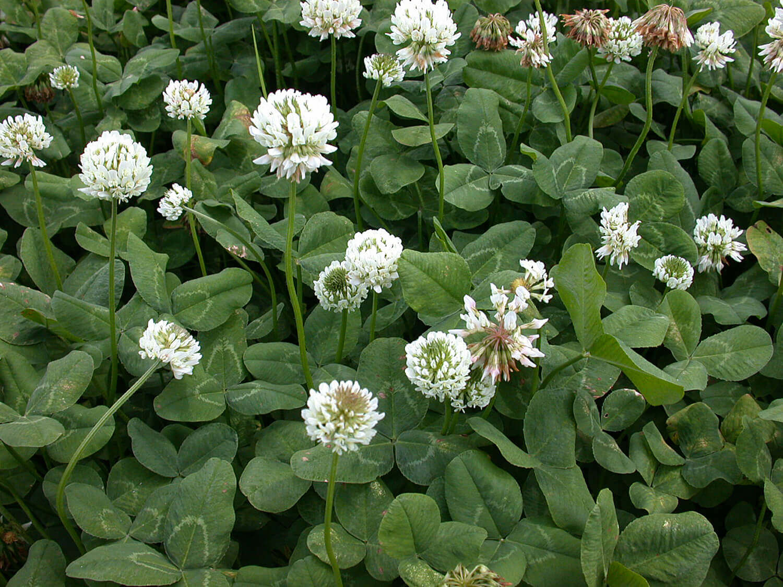 White Clover [Trifolium repens]
