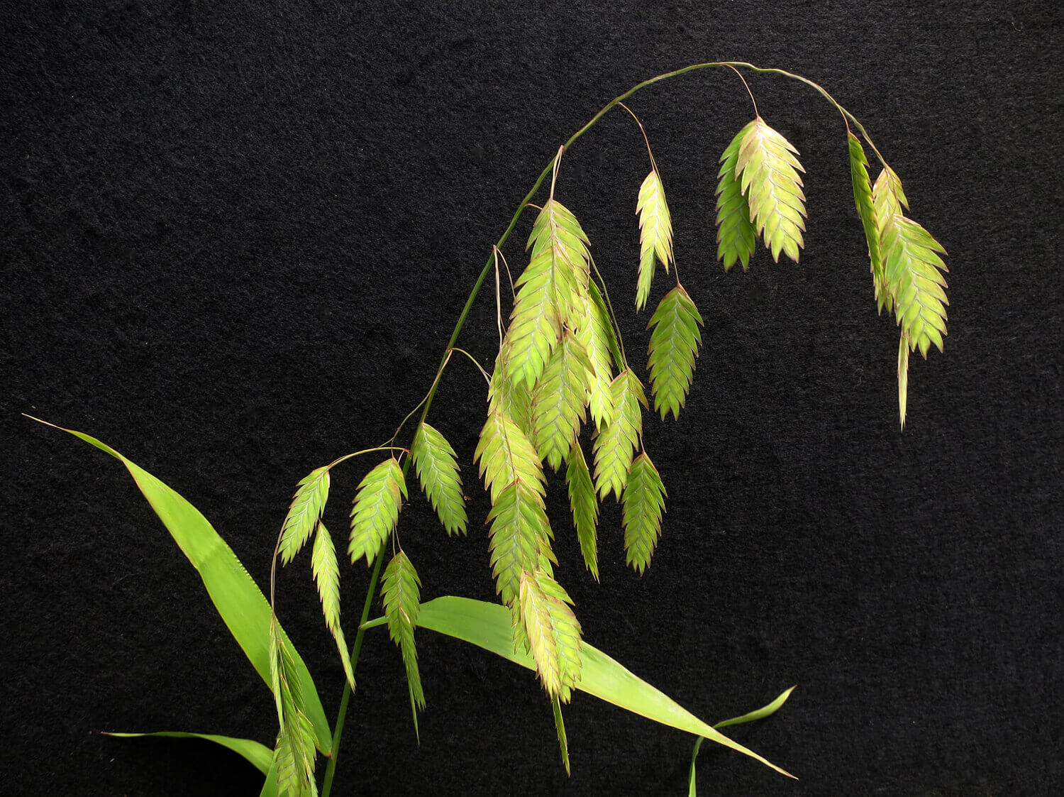 Sea Oats [Uniola latifolia]