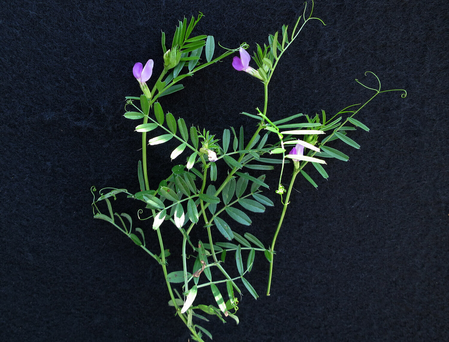 Common Vetch [<em>Vicia sativa</em>]