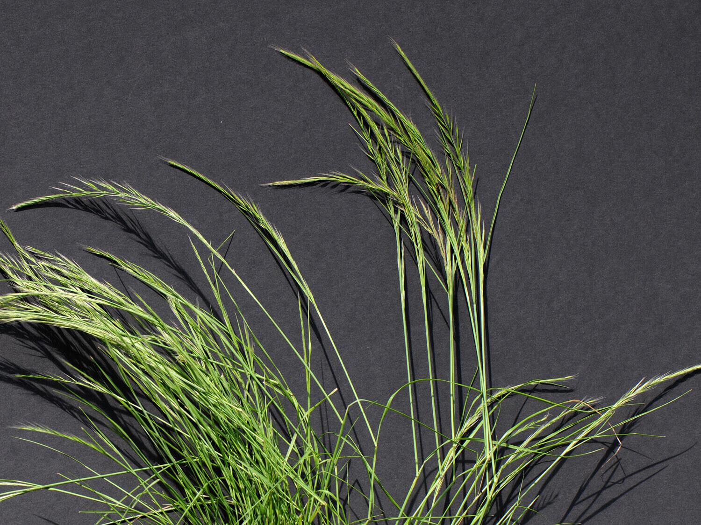 Rattail Fescue [Vulpia myuros]
