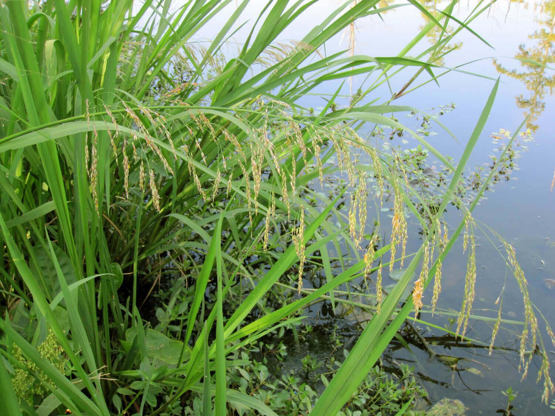 Giant Cutgrass [Zizaniopsis milacea]