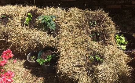 straw bale garden with seedlings in each hole